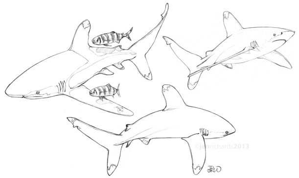Oceanic whitetips (and pilot fish)